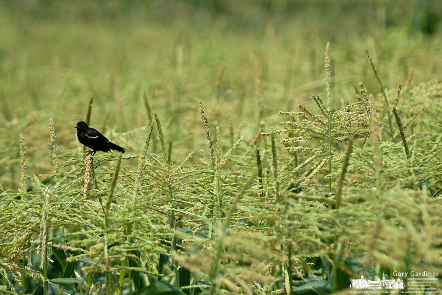 A red-winged blackbird sits on a tassel growing on corn growing on a farm near Bellefontaine. Ohio<br />