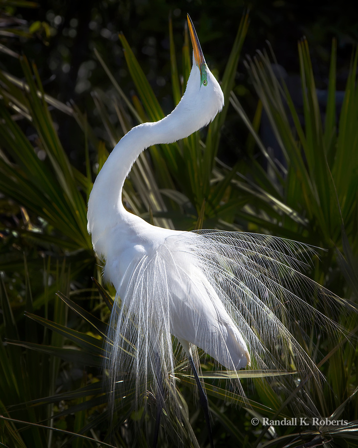Great Egret in breeding plummage, Osceola County, Florida