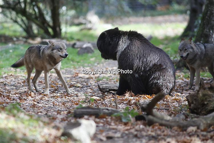 Foto: VidiPhoto<br /> <br /> RHENEN &ndash; Een kort conflict tussen een beer en een tweetal jonge wolven in het Berenbos van Ouwehands Dierenpark in Rhenen. In Dierenrijk in Nuenen liep een soortgelijke confrontatie maandag uit de hand en werd een wolvin gedood door een beer toen het dieren spelend uit een vijver kwam. Wolven en beren leven bij meer Nederlandse dierentuinen in hetzelfde verblijf, zoals ook in Ouwehands Dierenpark. Ernstige incidenten hebben zich daar voor zo ver bekend nog nooit voorgedaan. In de Rhenense dierentuin zijn deze zomer nieuwe, jonge wolven geplaatst in het berenbos. Dat gebied is groot genoeg om elkaar uit de weg te gaan. De introductie heeft tot nog toe geen problemen gegeven.