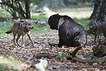 Foto: VidiPhoto<br /> <br /> RHENEN – Een kort conflict tussen een beer en een tweetal jonge wolven in het Berenbos van Ouwehands Dierenpark in Rhenen. In Dierenrijk in Nuenen liep een soortgelijke confrontatie maandag uit de hand en werd een wolvin gedood door een beer toen het dieren spelend uit een vijver kwam. Wolven en beren leven bij meer Nederlandse dierentuinen in hetzelfde verblijf, zoals ook in Ouwehands Dierenpark. Ernstige incidenten hebben zich daar voor zo ver bekend nog nooit voorgedaan. In de Rhenense dierentuin zijn deze zomer nieuwe, jonge wolven geplaatst in het berenbos. Dat gebied is groot genoeg om elkaar uit de weg te gaan. De introductie heeft tot nog toe geen problemen gegeven.