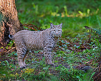 Bobcat (Lynx rufus).  Pacific Northwest forest.