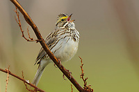 Adult Savannah Sparrow (Passerculus sandwichensis) singing. Seward Peninsula, Alaska. May.