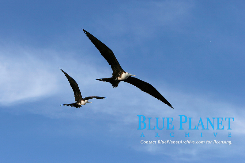 Juvenile (white head and breast) Magnificent Frigatebirds (Fregata magnificens) soaring near the Baja Peninsula, Mexico, Pacific Ocean
