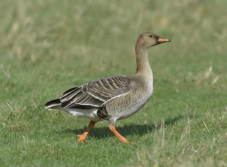 Bean Goose - Anser fabalis - taiga race ssp. fabalis.