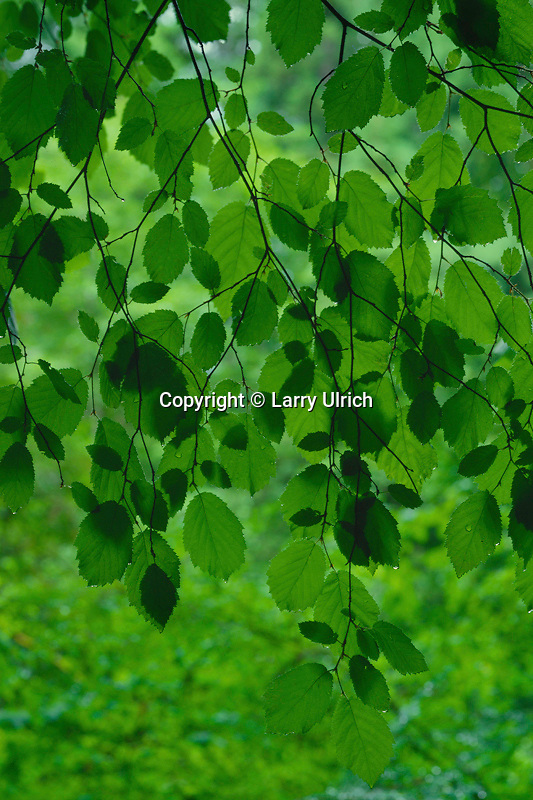 Hazelnut leaves<br /> Prairie Creek Redwoods State Park<br /> Humboldt County<br /> California