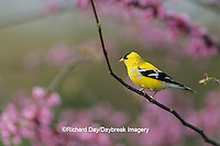 01640-05411 American Goldfinch (Carduelis tristis) male in Redbud tree Marion Co. IL
