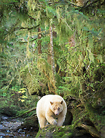 Kermode bear, or spirit bear, Ursus americanus kermodei, a rare, leucistic subspecies of American black bear, Ursus americanus, white or cream color due to a double recessive gene unique in the subspecies, Great Bear Rainforest, scared site of the Gitga'at Bation, British Columbia, Canada
