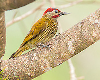 Golden-olive Woodpecker, Colaptes rubiginosus