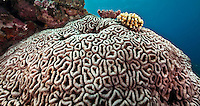 Brain Coral, Yap Micronesia<br /> (Photo by Matt Considine - Images of Asia Collection)