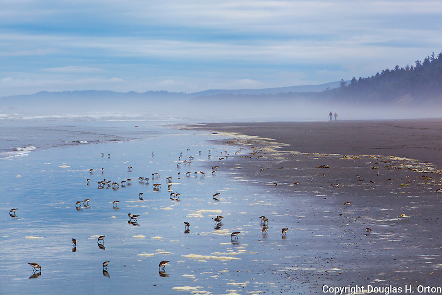 Kalaloch Beach with flock of Sandpipers on Misty Morning.  Kalaloch Beach State Park, Washington.  Beaches in the Kalaloch area of Olympic National Park, identified by trail numbers, are remote and wild.  Olympic Peninsula, Olympic Mountains, Olympic National Park, Washington State, USA.