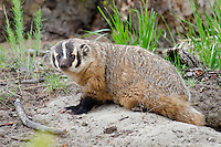 American badger (Taxidea taxus) coming out of den burrow.  Western U.S., June.