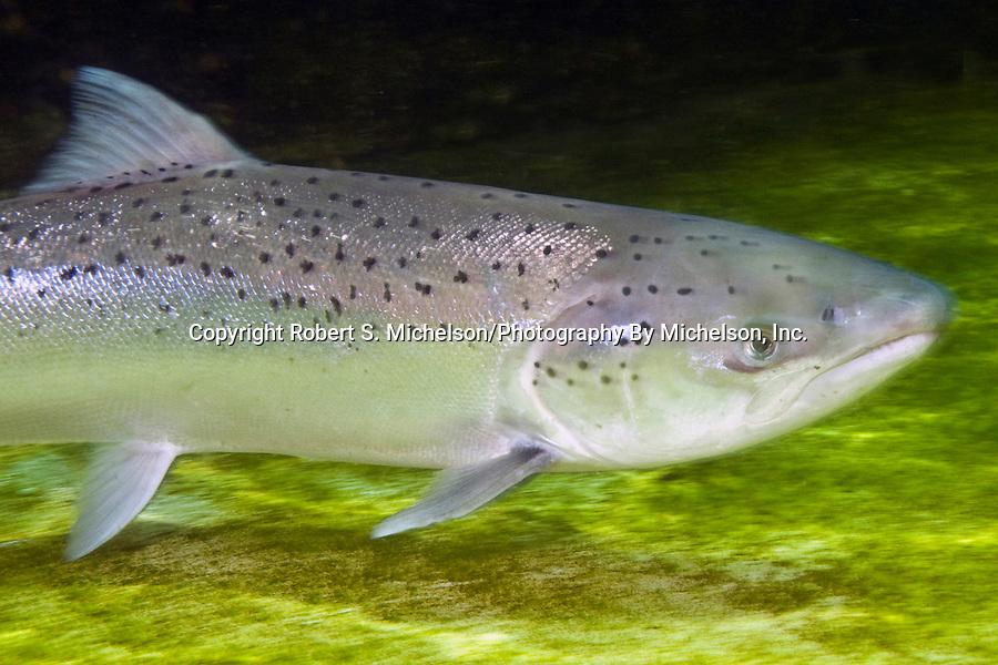 Atlantic Salmon female, close-up.
