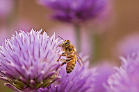"""Chives and Honey Bee""<br />