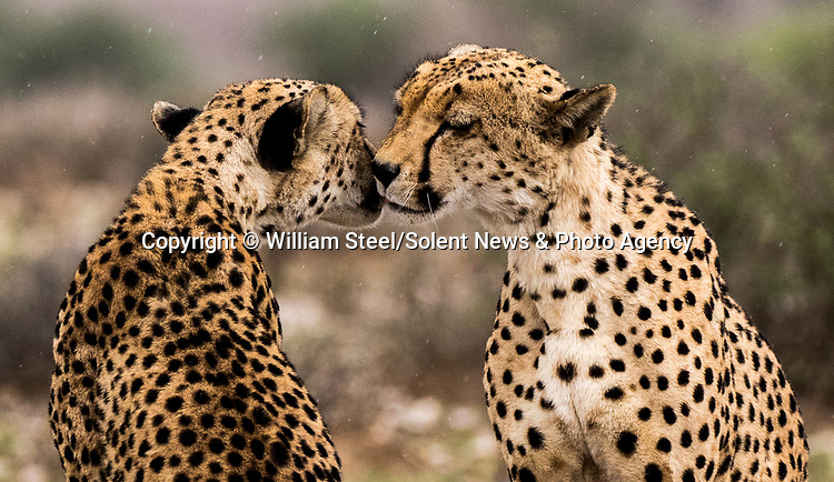 Pictured:  A pair of cheetahs share a tender moment.<br /> <br /> Heart-warming pictures capture the tender moments between animals in the wild.  Lions are caught on camera fondly bowing their heads towards each other as a lioness affectionately pulls another closer.<br /> <br /> A pair of elephants also lovingly embrace each other with their trunks as they dip in the water while spotted cheetahs nuzzle together, licking the rain off their faces.  Wildlife photographer William Steel captured the sweet moments between the animals at several national parks in Botswana - including Mabuasehube, Chobe National Park and Khutse Game Reserve.  SEE OUR COPY FOR DETAILS.<br /> <br /> Please byline: William Steel/Solent News<br /> <br /> © William Steel/Solent News & Photo Agency<br /> UK +44 (0) 2380 458800