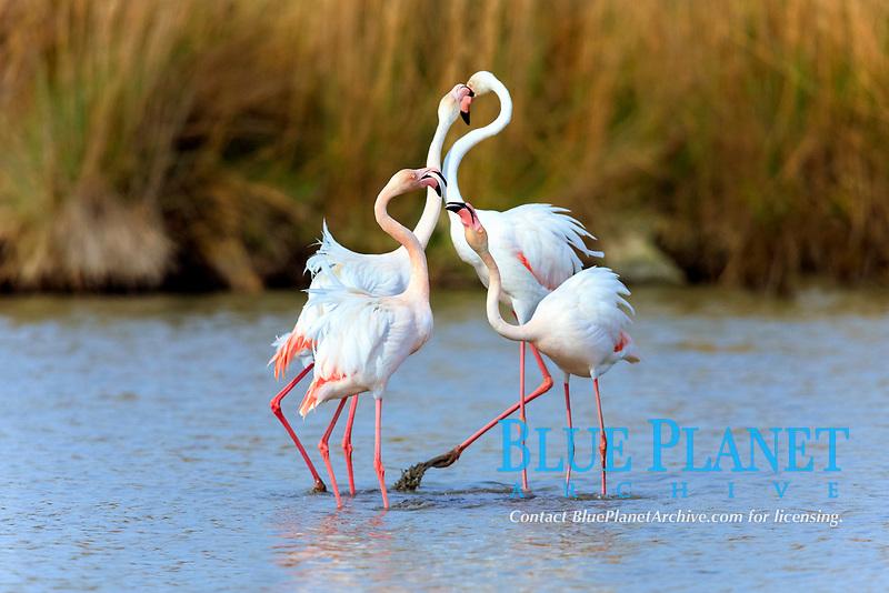 Greater Flamingo (Phoenicopterus ruber roseus), group in water, Saintes-Maries-de-la-Mer, Camargue, France, Europe