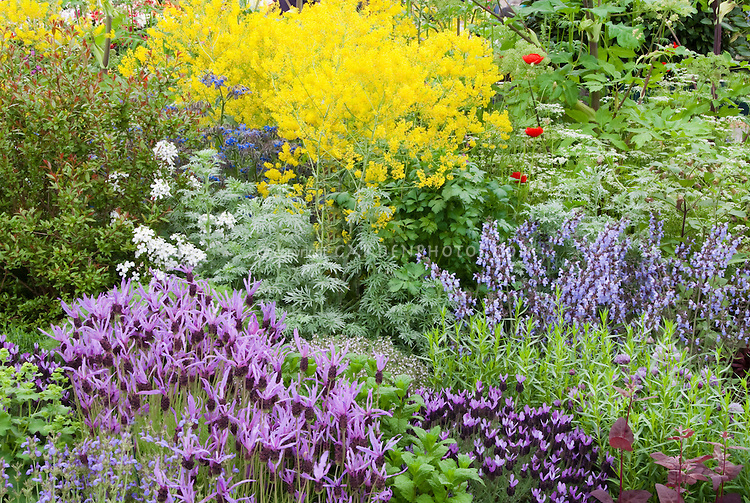 Flowering herb garden with Spanish lavender Lavandula stoechas, Thymus thymes, yellow Isatis tinctoria Dyer's Woad for dying, Rosemary, Borago, Angelica, and other mixed plants