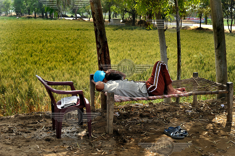 A Sikh truck driver takes a rest on a roadside charpoy bed, next to a wheat field.