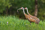 Sandhill crane parents feeding a red-winged blackbird to their offspring