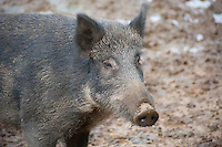 Close-up of Wild Boar sow, Whitewell, Lancashire.