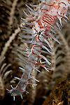 Ornate ghost pipefish (Solenostomus paradoxus).