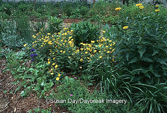 63821-031.12 Sun Drops and Bellflowers (Oenothera tetragona and Campanula glomerta)   IL
