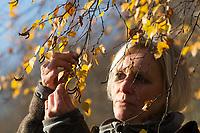 Ernte von Birkenknospen im Herbst für Räucherung, Räuchern, Knospen, Knospe, Hänge-Birke, Sand-Birke, Birke, Hängebirke, Sandbirke, Weißbirke, Betula pendula, European White Birch, Silver Birch, warty birch, Le bouleau verruqueux, bouleau blanc