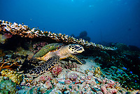 hawksbill sea turtle, Eretmochelys imbricata, resting under hard coral, acrophoridae family. Raja Ampat, West Papua, Indonesia, Pacific Ocean