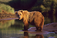 Grizzly Bear or Coastal Brown Bear (Ursus arctos) along the Katmai coast, Alaska Peninsula, Alaska.  Summer.