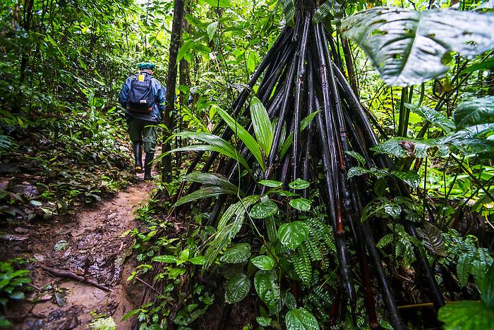 Roots of Walking Palm Tree (Socratea exorrhiza), Amazon Rainforest, Coca, Ecuador, South America