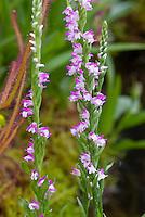 Spiranthes sinensis Orchid