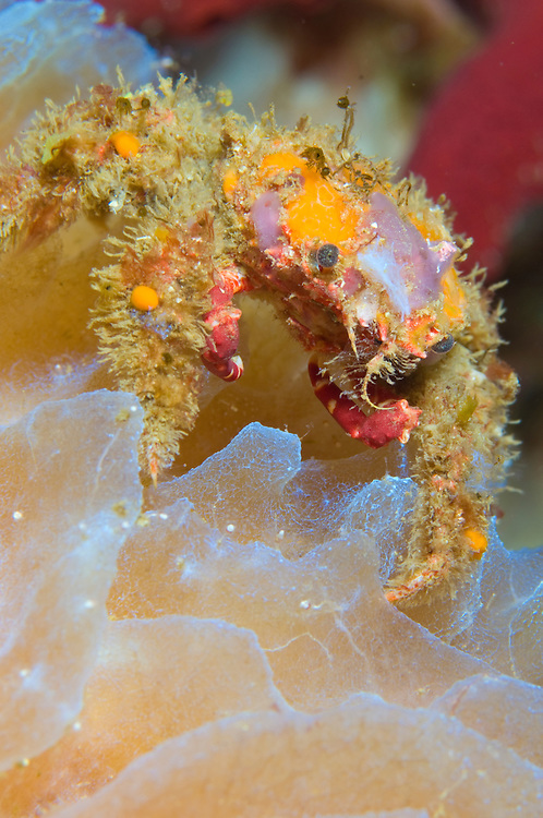 Decorator crab (Microphrys bicornuta) on sponge, bright orange and purple on a sponge
