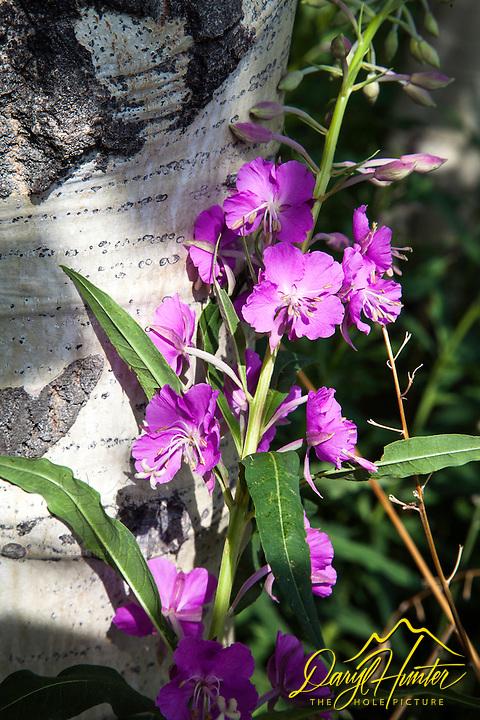 Fireweed, aspen, wildflowers of Grand Teton National Park