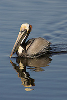 Brown Pelican - Pelicanus occidentalis. Adult in breeding plumage