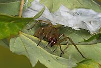 Dornfinger, Ammen-Dornfinger, Dornfinger-Spinne, Giftig, Giftspinne, Gifttier, Cheiracanthium punctorium, yellow sack spider, Sackspinnen, Clubionidae