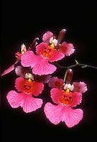 Oncidium = Tolumnia Good Show 'Eichenfels', AM/AOS orchid hybrid (Phyllis Hetfield x Springfield) against black background