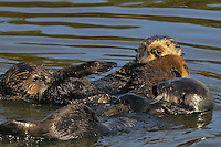 Sea Otter (Enhydra lutris) mom with young pup (middle) being investigated by two other sea otters.