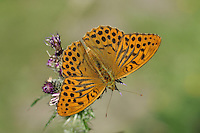 Silver Washed Fritillary - Argynnis paphia