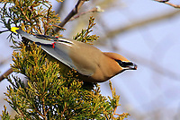 Courtesy photo/PHYLLIS KANE<br />BERRY SNACK<br />A cedar waxwing feeds on berries from a cedar tree Feb. 16. Phyllis Kane of Fayetteville took the picture at the Botanical Gardens of the Ozarks in Fayetteville.