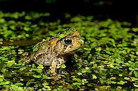 FR11-160x  American Toad - sitting in duckweed pond  - Anaxyrus americanus, formerly Bufo americanus
