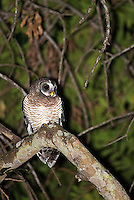 This African wood owl was hooting outside my bungalow at MalaMala early one morning.