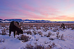 As the sun sinks lower over the silhouette of the southern Tetons, the dry and crusted snow crunches loudly in the still air as two bull moose search for antelope bitterbrush growing among the sage in Grand Teton National Park, Wyoming.