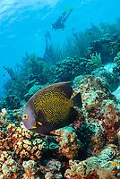 French angelfish, Pomacanthus paru, Bonaire, Caribbean Netherlands, Caribbean