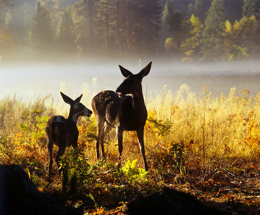 DOE with FAWN in FOG at dawn - YOSEMITE NATIONAL PARK, CALIFORNIA