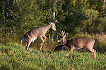 White-tailed bucks sparring
