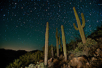 Saguaro cacti in at nightfall in Southern Arizona.