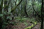 Lichen covered tree in prehistoric forest in the Parque nacional de Garajonay, Unesco world heritage site. La Gomera, Canary Islands.