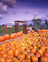 V00139M.tif   Pumpkins for sale at Harwood Farms. Near Eugene, Oregon