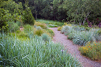 California meadow garden, David Fross with ornamental grasses, wild rye - Leymus condensatus 'Canyon Prince' along gravel path