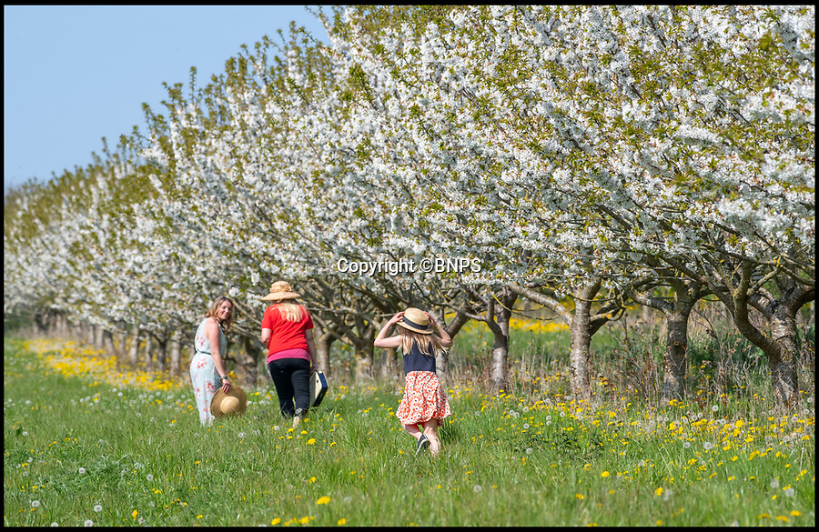 BNPS.co.uk (01202 558833)<br /> Pic: PhilYeomans/BNPS<br /> <br /> Easter heatwave boost to Britain's cherry growers...<br /> <br /> Cherry juice makers Laurie Griffin & Hayley Davis and Hayleys daughter Honor can afford to sit back and relax this Easter as the glorious weather has provided a stunning crop of blossom that should ensure a bumber harvest come July.<br /> <br /> The huge orchard near Milborne St Andrew in Dorset is one of the only outdoor cherry farms in the UK, and relies on the vagaries of the British climate each year to produce a good crop.<br /> <br /> Cherry juice is increasing in popularity because of its antioxidant and health giving properties.