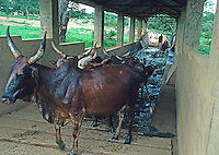 Red Fulani cow dipping